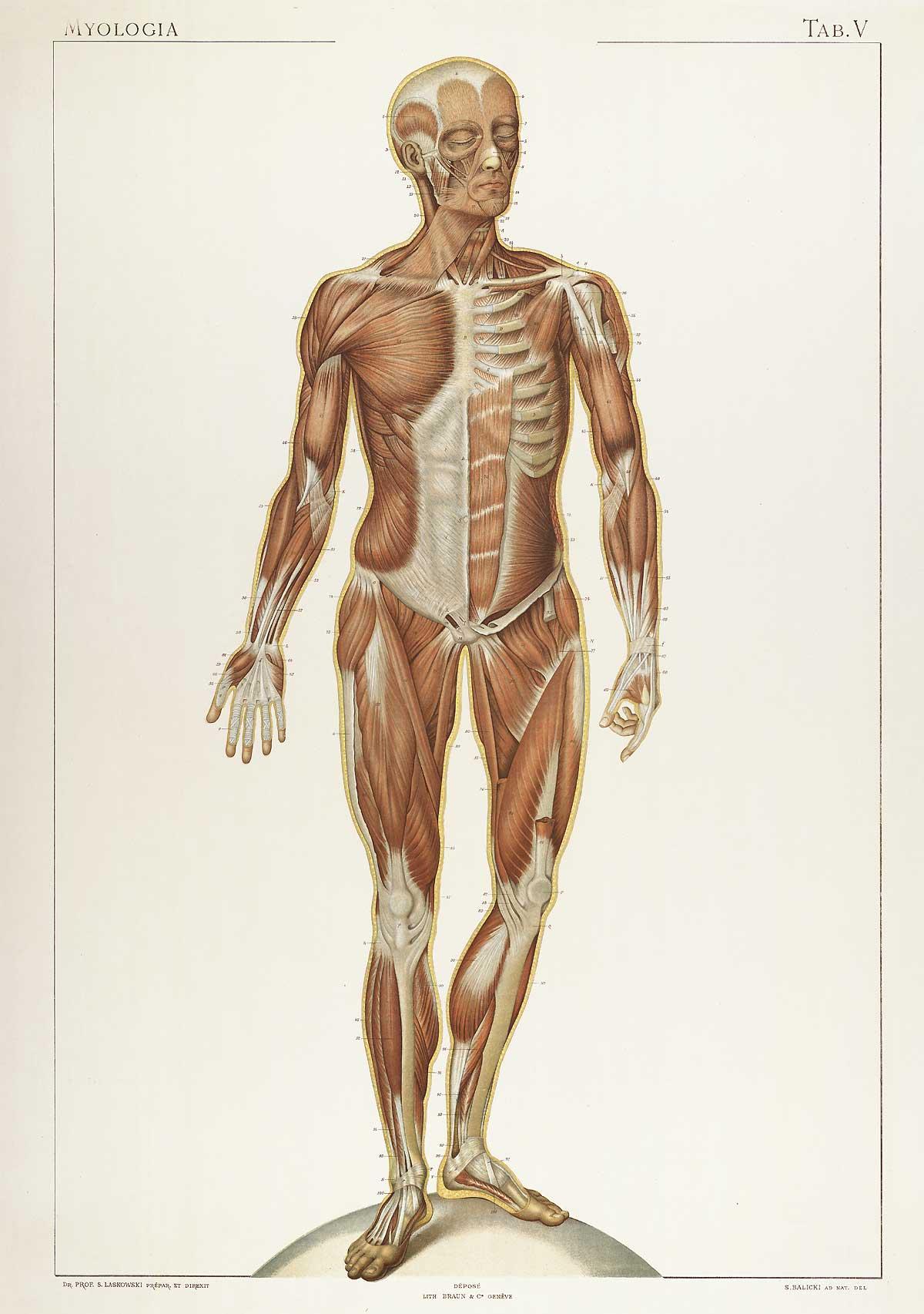 Laskowski_Anatomie_normale_05