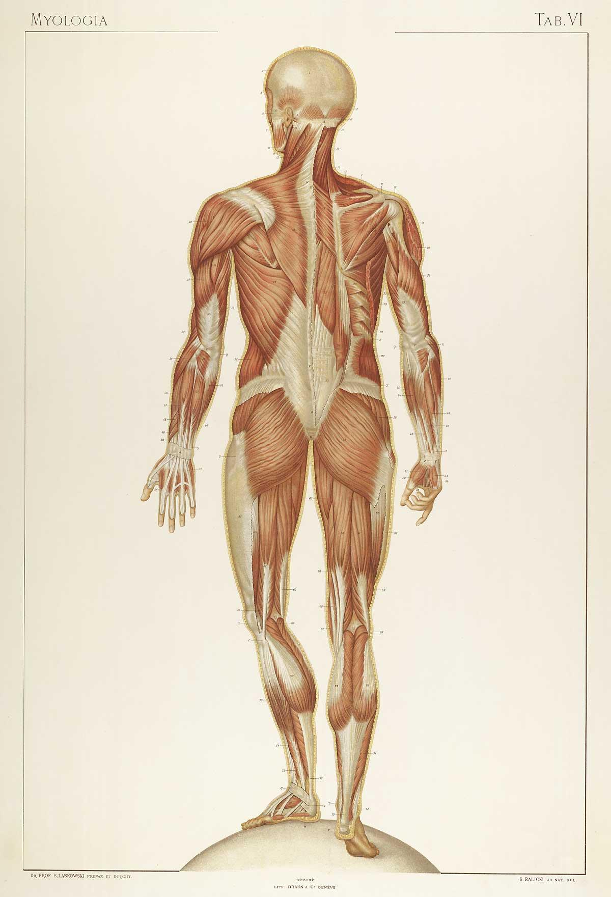 Laskowski_Anatomie_normale_06